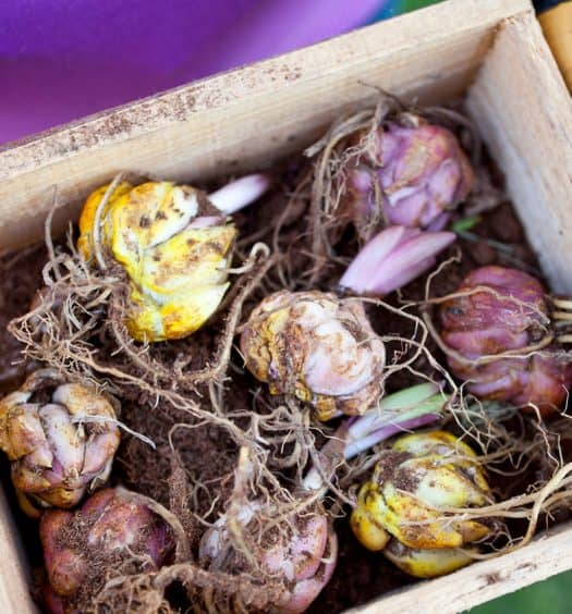 forcing bulbs gardening